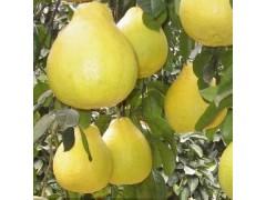 贵州柚子苗价格,贵州柚子苗种植技术,贵州柚子苗管理