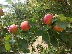 陕西早熟金太阳杏产地价格,早熟丰园红杏价格