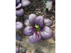紫油菜 彩色观赏食用油菜种子  雪莲果种子