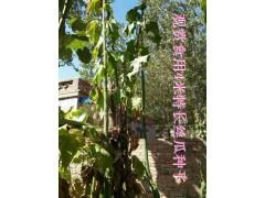 观赏观光食用4米超长太空丝瓜种子