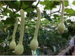龙凤瓜种子质量好 龙凤瓜种子图片