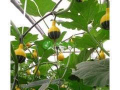 玩具南瓜种子 鸳鸯梨南瓜种子农家院观光品种