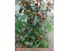 南瓜椒种子 观赏花卉品种 观赏食用种子