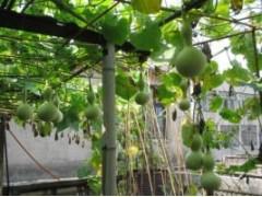 观赏玩具葫芦种子 鸟笼葫芦种子等各种观赏葫芦种子