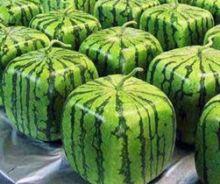 方形西瓜栽培方法
