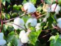夏季棉花精准管理措施