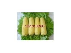 致富信息 超甜水果玉米种子