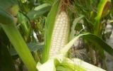 提高玉米出苗率的措施