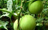 大棚香瓜栽培技术