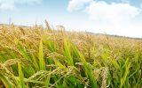 水稻分蘖期管理技术