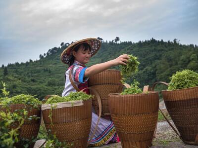 湖南永顺县:万人依靠种莓茶脱了贫