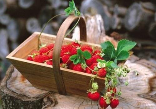 深秋 草莓这样管理能高产