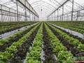低温寡照下 棚室蔬菜管理如何调整?