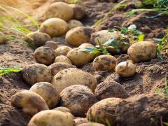 马铃薯育种实现颠覆性突破 第一代基因组设计的杂交马铃薯问世