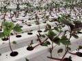 日光温室营养液膜水培叶菜实现周年生产